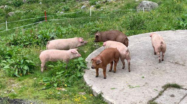Almschweine in der Alpe Tritsch